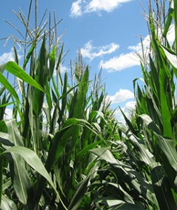 Corn plants at tasseling_web